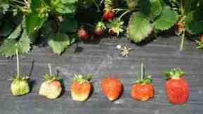 strawberries shown in different stages of ripeness